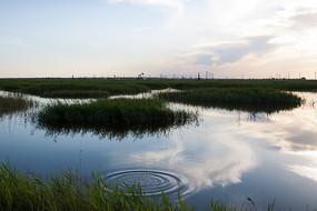 湿地保护区鱼儿跳出水面与大片的芦苇