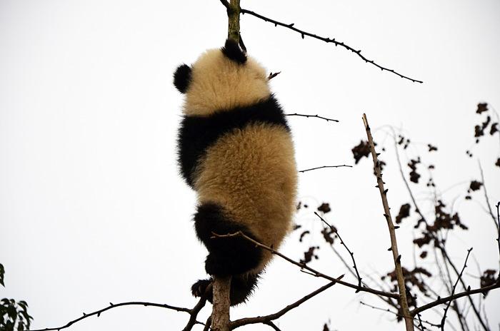 熊猫爬树的照片图片