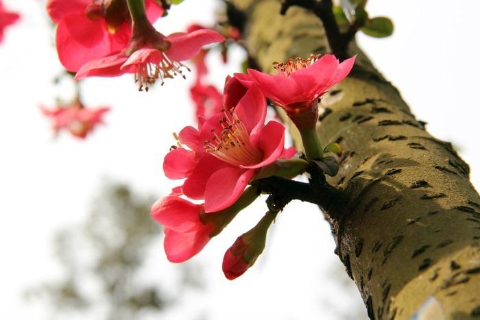 阳光下的红色海棠花梅花