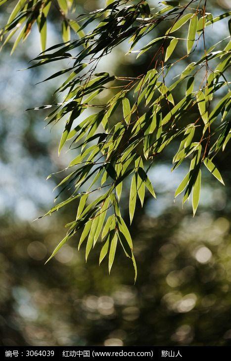 阳光下的竹叶图片,高清大图_树木枝叶素材