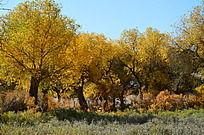 灌木丛中唯美的胡杨树