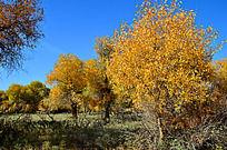 灌木中的胡杨树