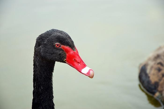 原创摄影图 动物植物 家禽家畜 红色嘴巴的天鹅