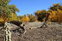 胡杨林中干枯的树干