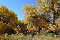 几棵簇拥的胡杨树