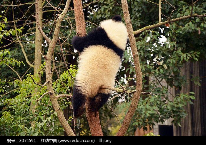 可爱的熊猫在爬树图片