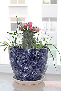 蓝色瓷盆中的仙人掌花盆栽