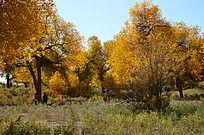 绿色的灌木丛和黄色的胡杨树