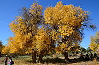 三棵高大的胡杨树