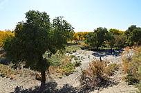 沙地上一棵绿色的胡杨树