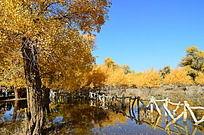 水中粗壮的胡杨树倒影