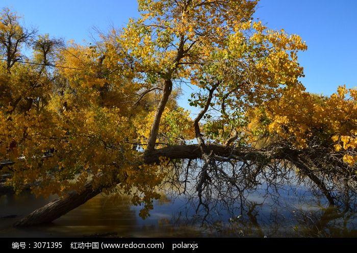 水中弯曲的胡杨树图片素材下载(编号:3071395)