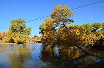 水中一棵斜生的胡杨树