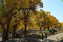 土埂上的黄绿相间的胡杨树
