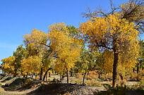 土埂上的一排胡杨树