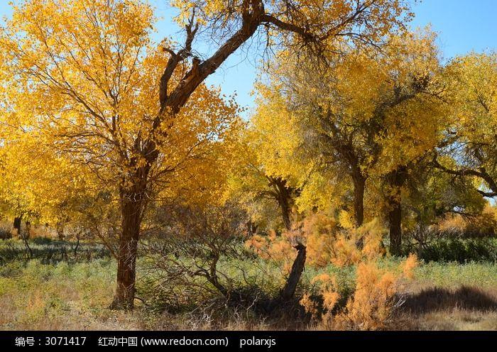 阳光下金黄透亮的胡杨树图片素材下载(编号:3071417)