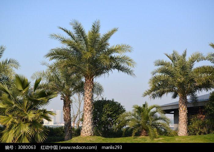 原创摄影图 动物植物 树木枝叶 长沙橘子洲沙滩公园里的椰树  请您