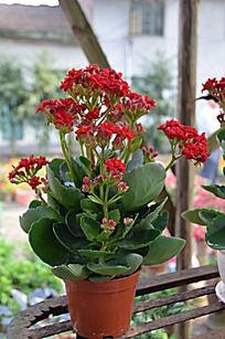 红色长寿花盆栽