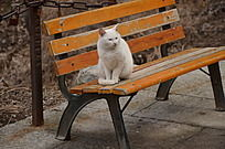 华山的白色的猫