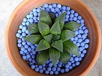 蓝色彩石装饰的莲花状多肉植物盆栽