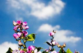 蓝天白云扁豆花