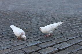 两只鸽子在地上吃食