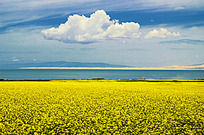 青海湖边的油菜花和白云