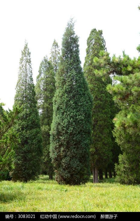 挺拔的青松图片,高清大图_树木枝叶素材