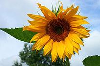 向日葵大朵一大朵阳光下的向日葵
