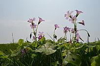 阳光下三叶草花粉色小花
