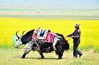 油菜花边拉着牦牛的牧民