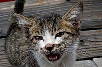 张牙的花猫