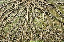 布满墙壁的树根