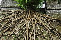 发达的老树根