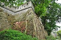 古代城墙上生长的树木
