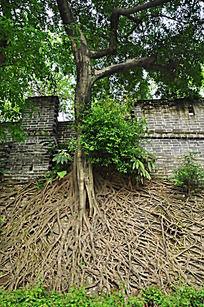 古老的树根和围墙