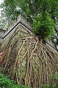 老树扎根围墙