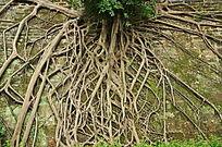 墙壁上的树根