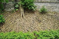 生长在墙上的树根