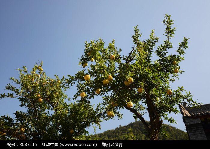 原创摄影图 动物植物 树木枝叶 石榴树  请您分享: 红动网提供树木