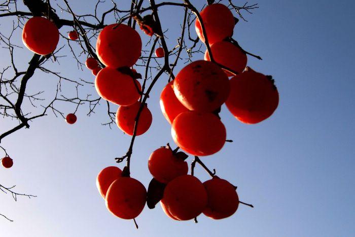 柿子红图片,高清大图_树木枝叶素材
