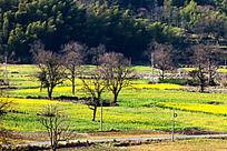 塔川的乌桕树还没有长叶子