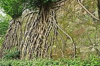 扎根墙壁的老树根