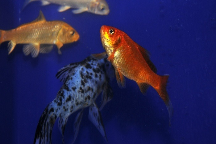 原创摄影图 动物植物 水中动物 观赏鱼儿  请您分享: 红动网提供水中