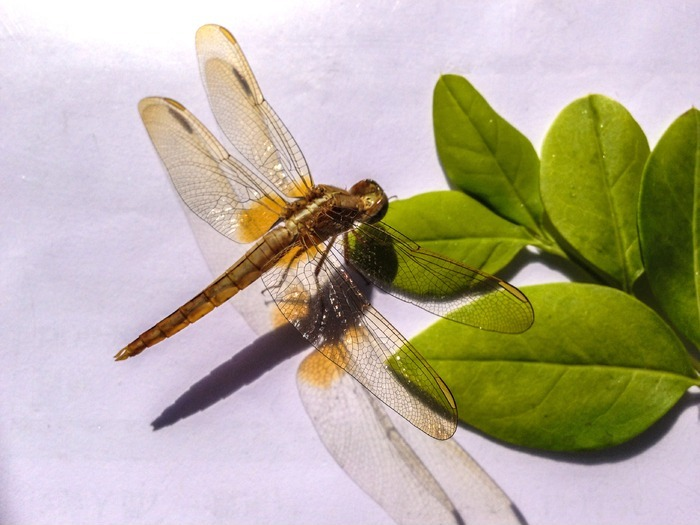 蜻蜓和树叶图片