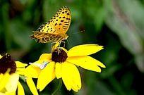 黄色黑点的蝴蝶