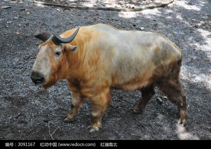 四川羚牛图片,高清大图_陆地动物素材
