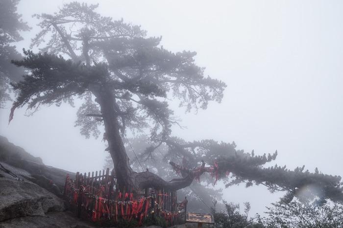 雾中山坡上的一棵松树图片