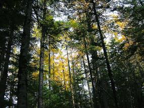 新疆金秋树林