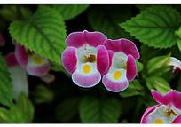 开放的淡紫色夏堇花